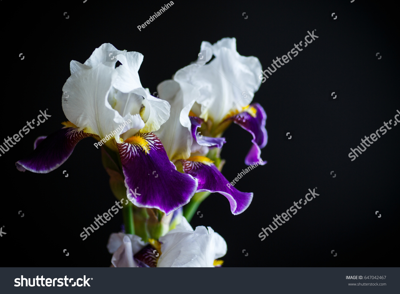 Iris Flower White Purple Petals On Stock Photo Edit Now 647042467