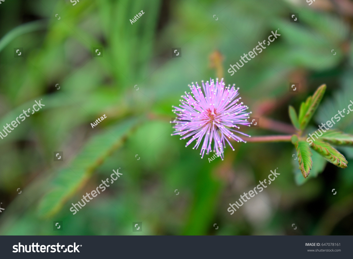 Pink Mimosa Flowers Field Green Forest Stock Photo Edit Now