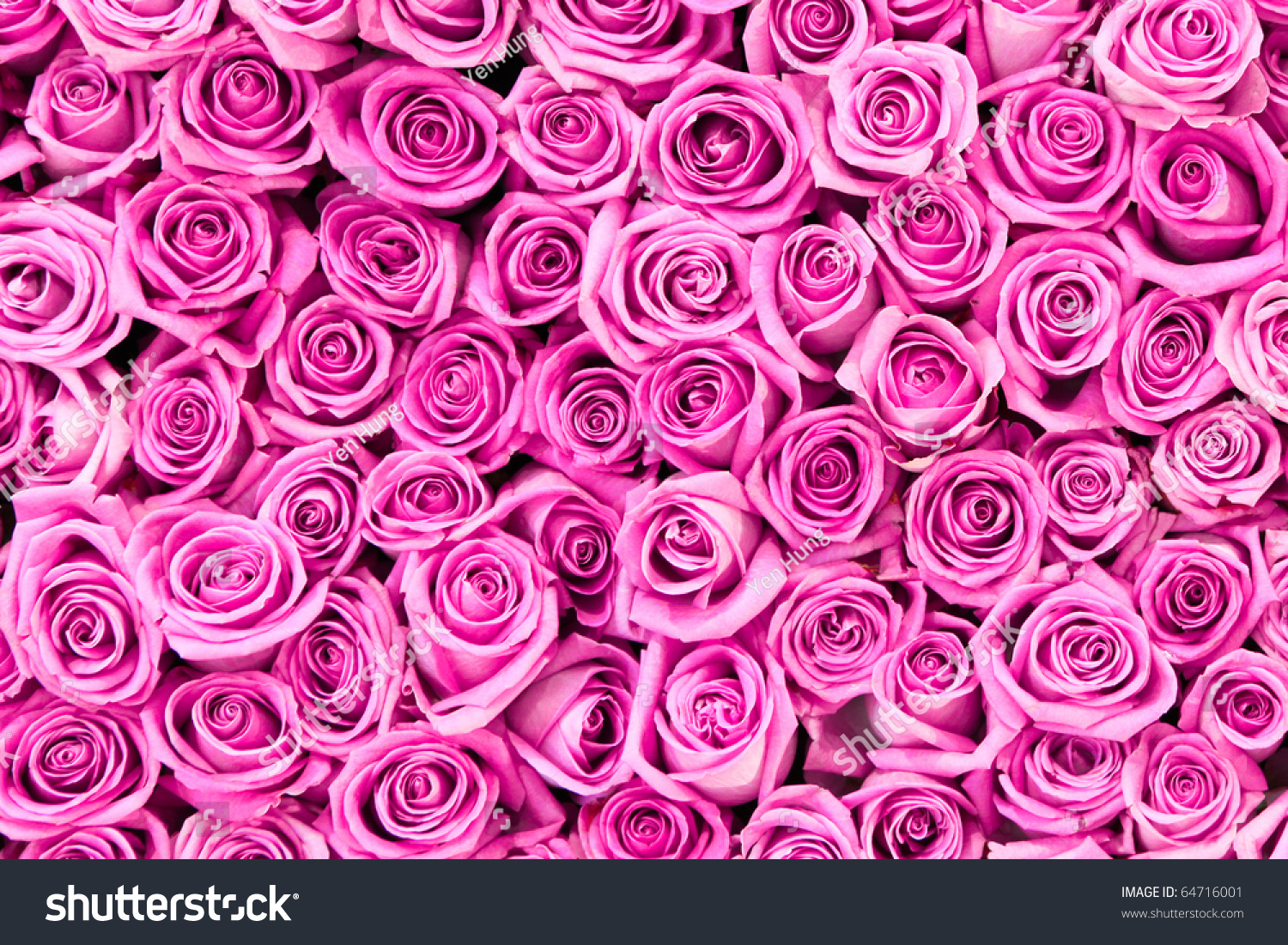 Beautiful Valentine Pink Rose Flowers Stockfoto (Lizenzfrei ...