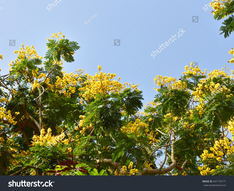 Copper Pod Tree Peltophorum Pterocarpum Lush Stock Photo Edit Now