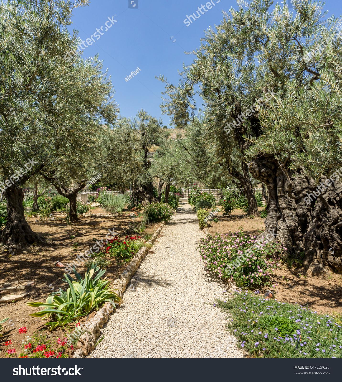 Gethsemane garden at the foot of the Mount of Olives in Jerusalem ...
