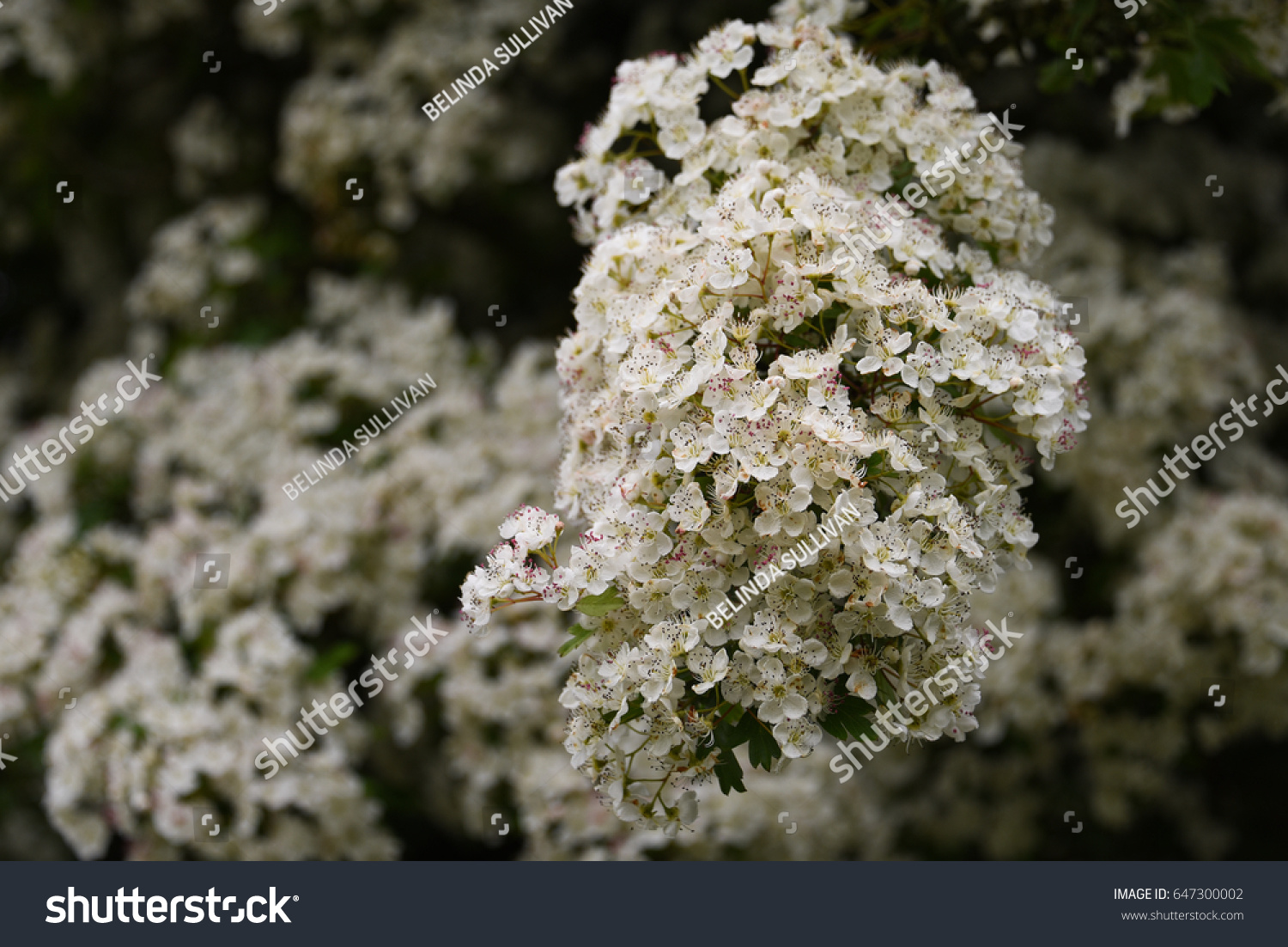 Hawthorn White Thorn Flowers Stock Photo Edit Now 647300002