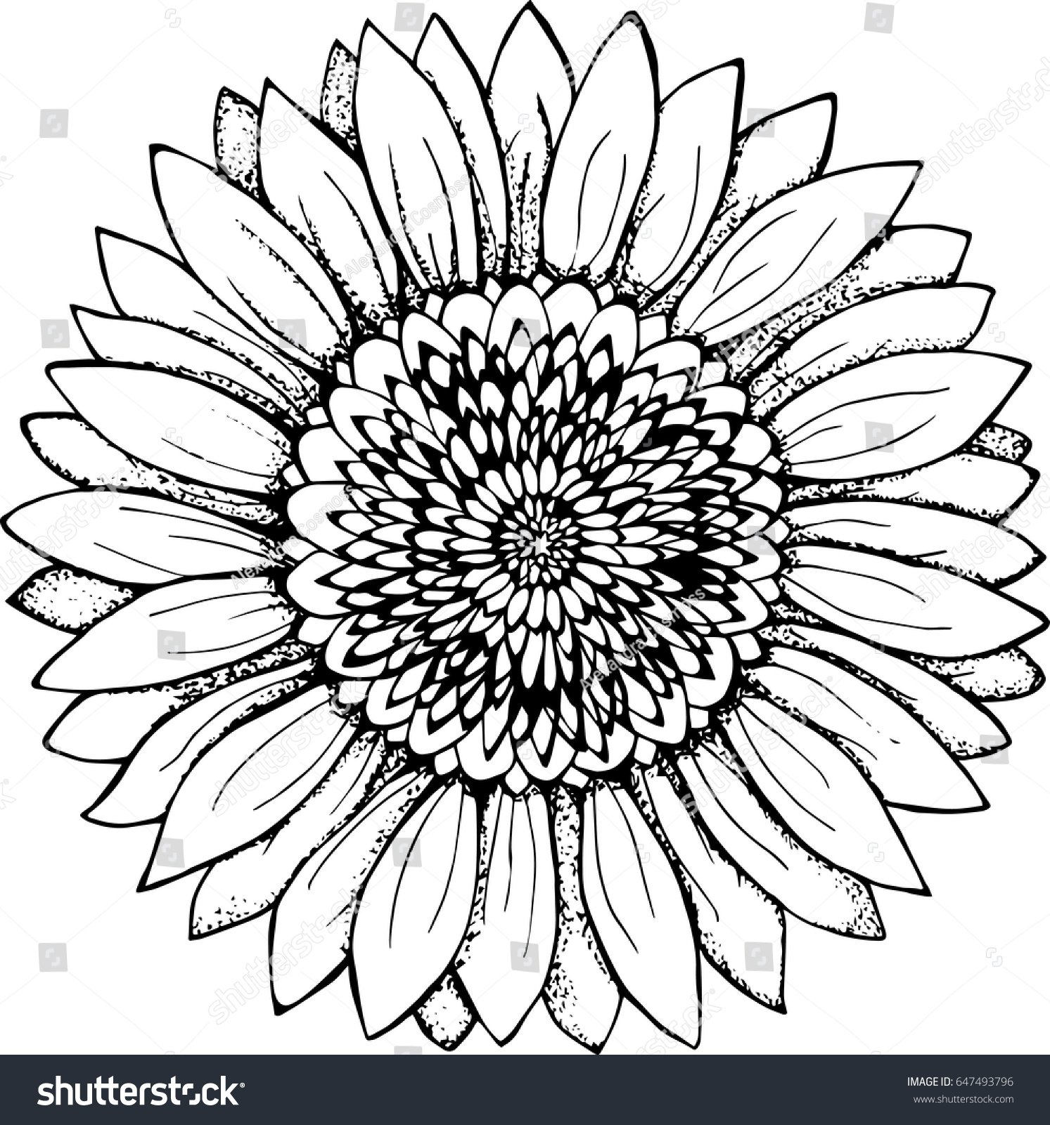 Black White Picture Sunflower Flower Illustration Stock Vector