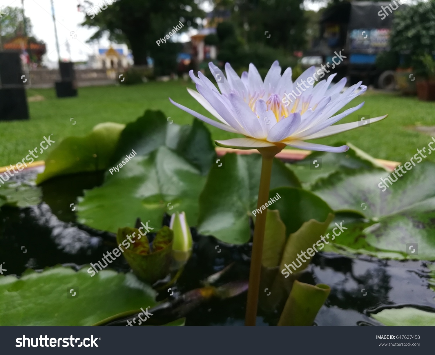 Beautiful White Lotus Flower Water Lily Stock Photo Edit Now