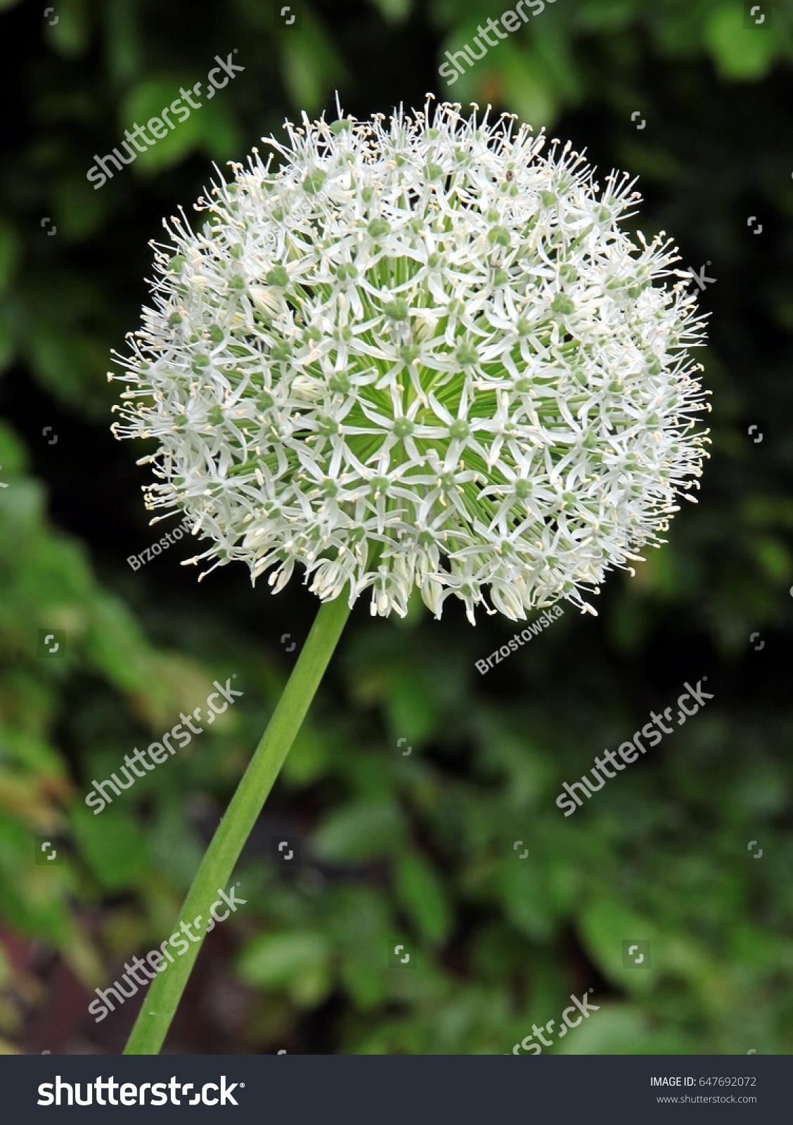 Alium Giganteum Plant White Flower Stock Photo Edit Now 647692072