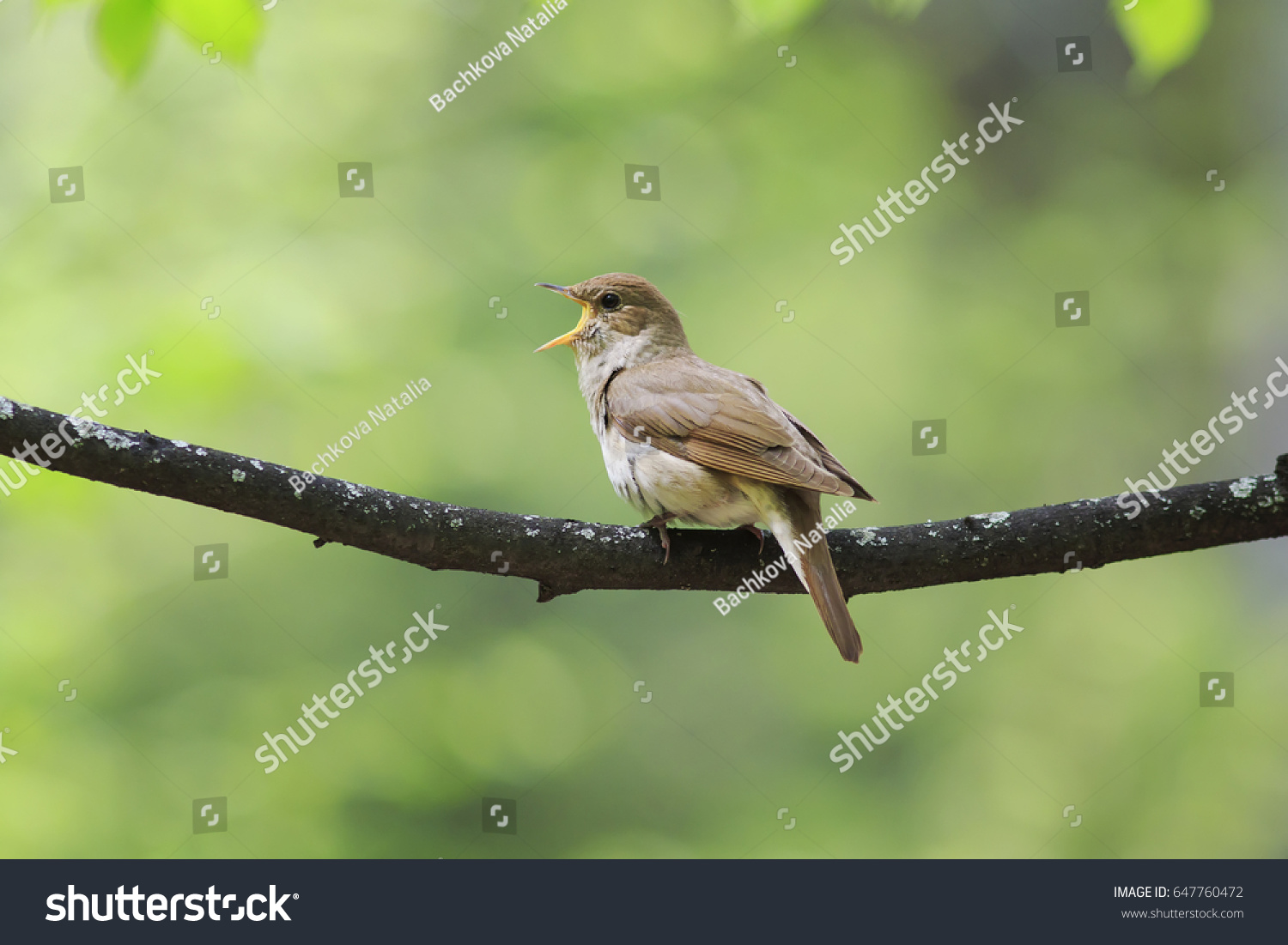 The Nightingale Sings Loud Song On A Branch In The Park On A Sunny Spring  Day Ideas