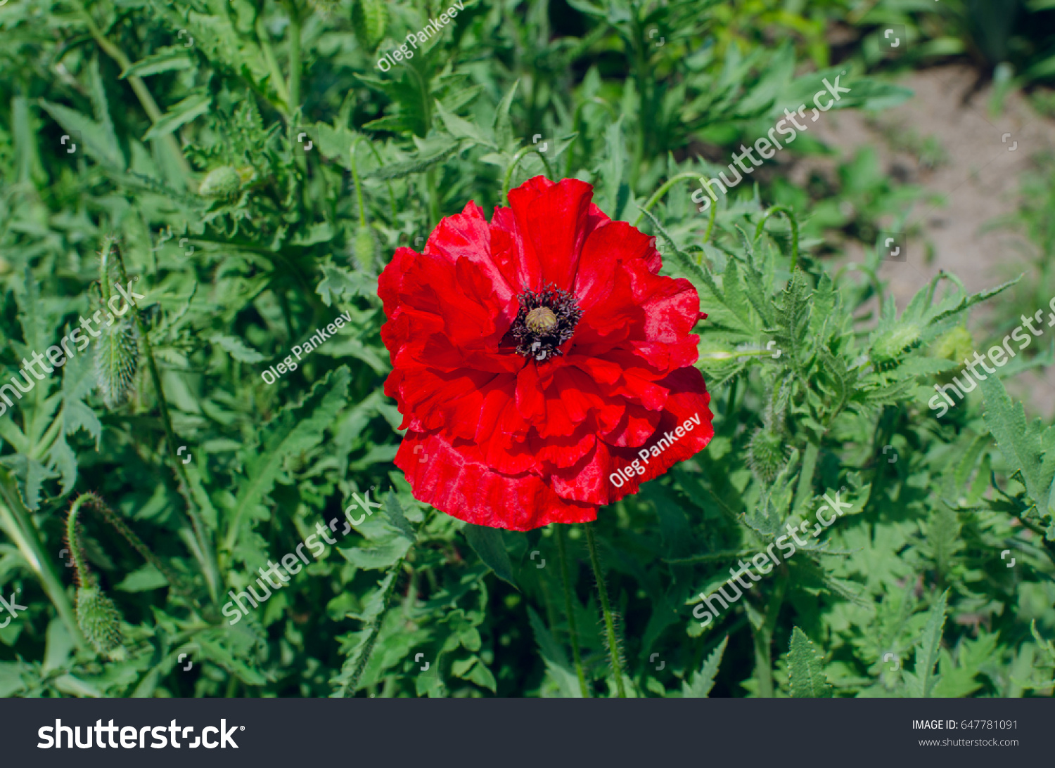 Flower Red Like Blood Maca Stock Photo Edit Now 647781091