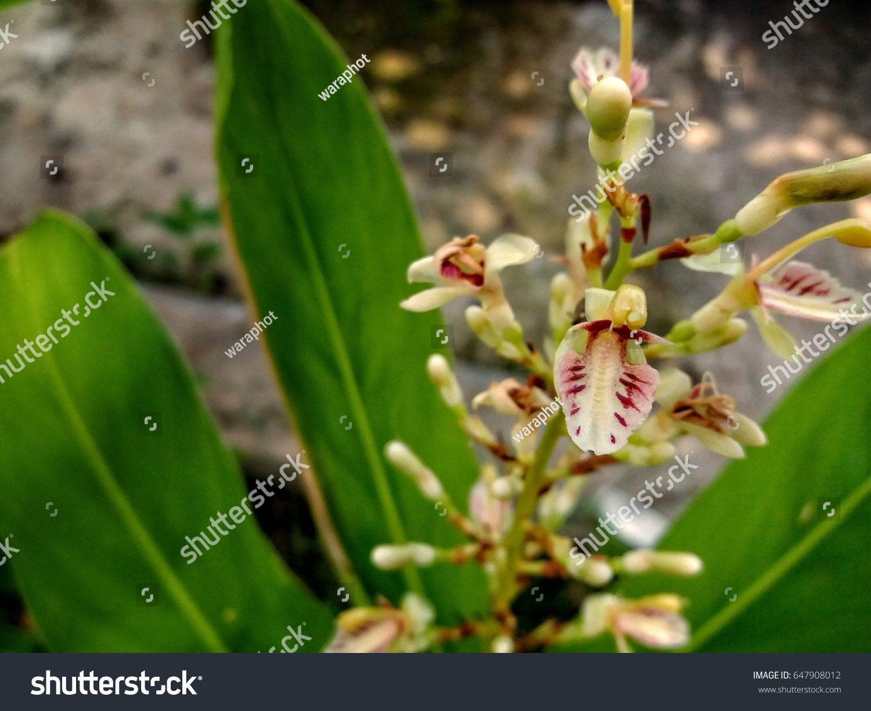 Galangal beautiful flower stock photo edit now 647908012 the galangal is a beautiful flower izmirmasajfo