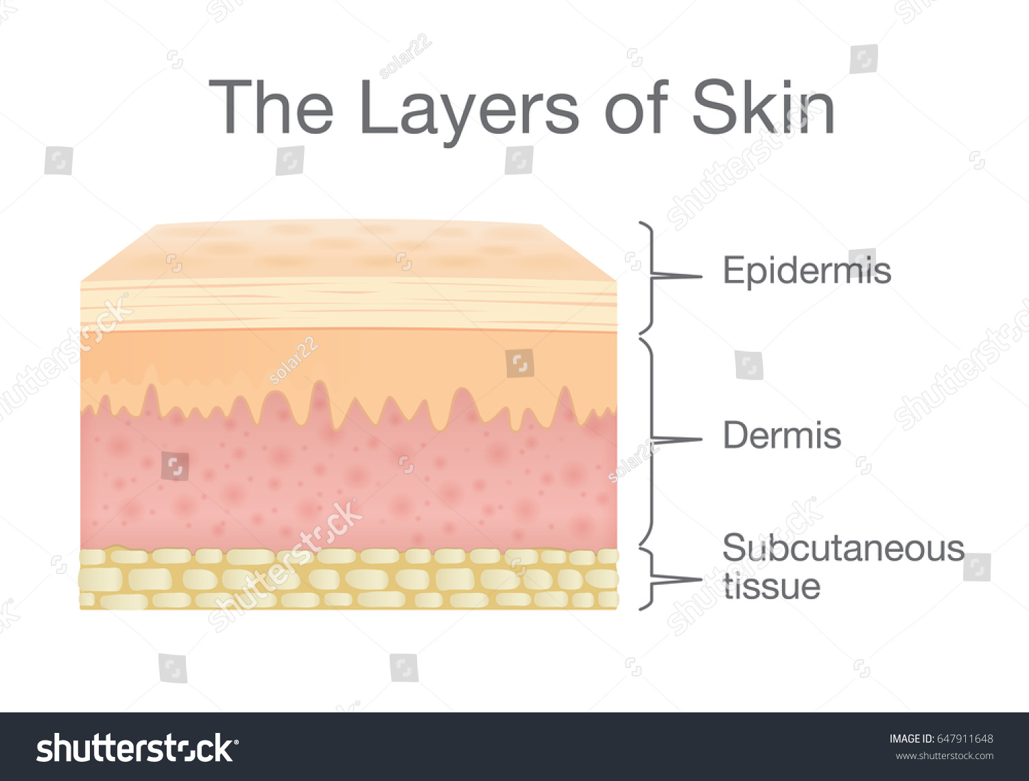 Layer Human Skin Vector Style Components Stock Vector Royalty Free