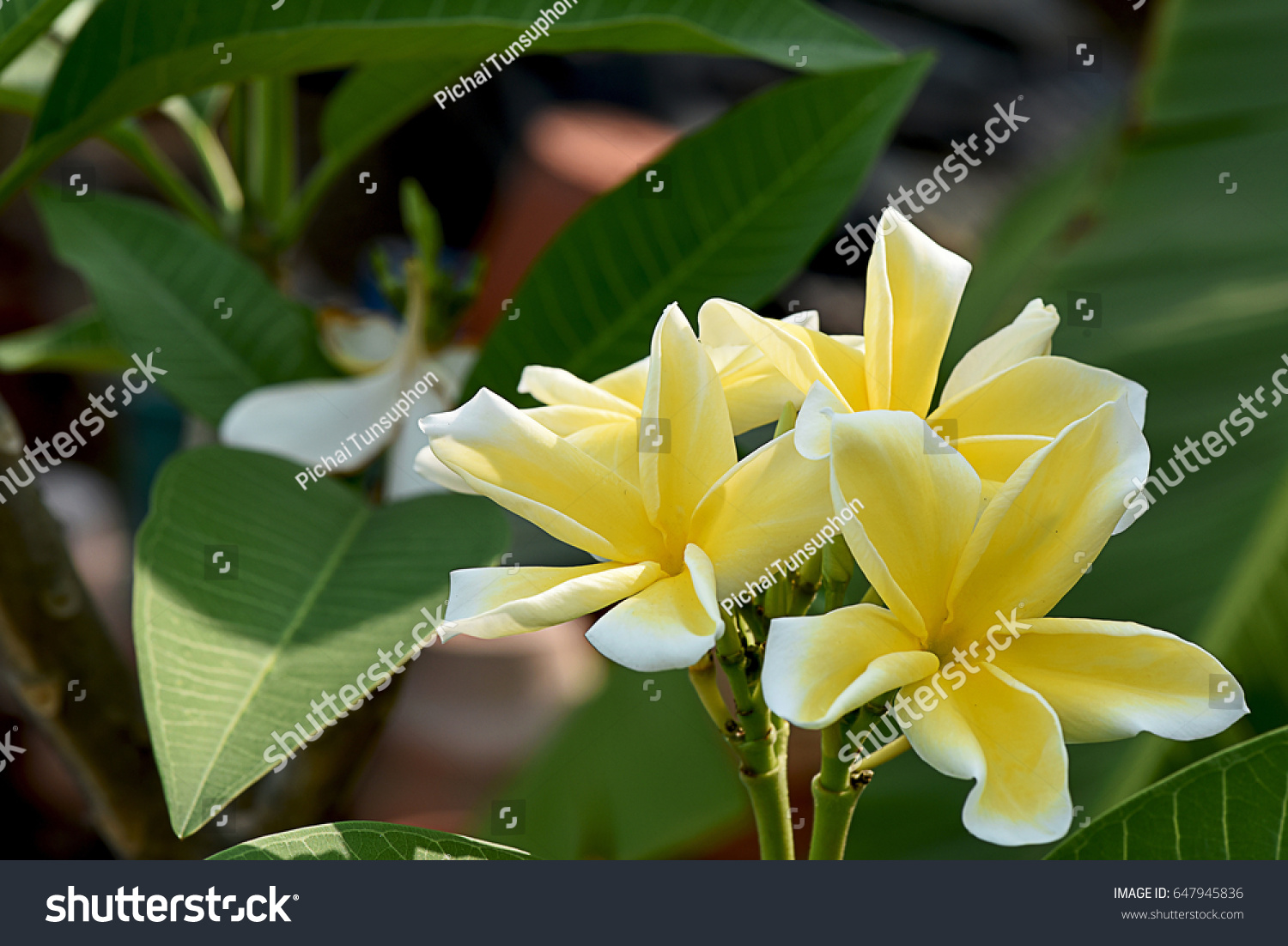 The Five Petals Of Plumeria Flower In Shade Of Yellow Color With
