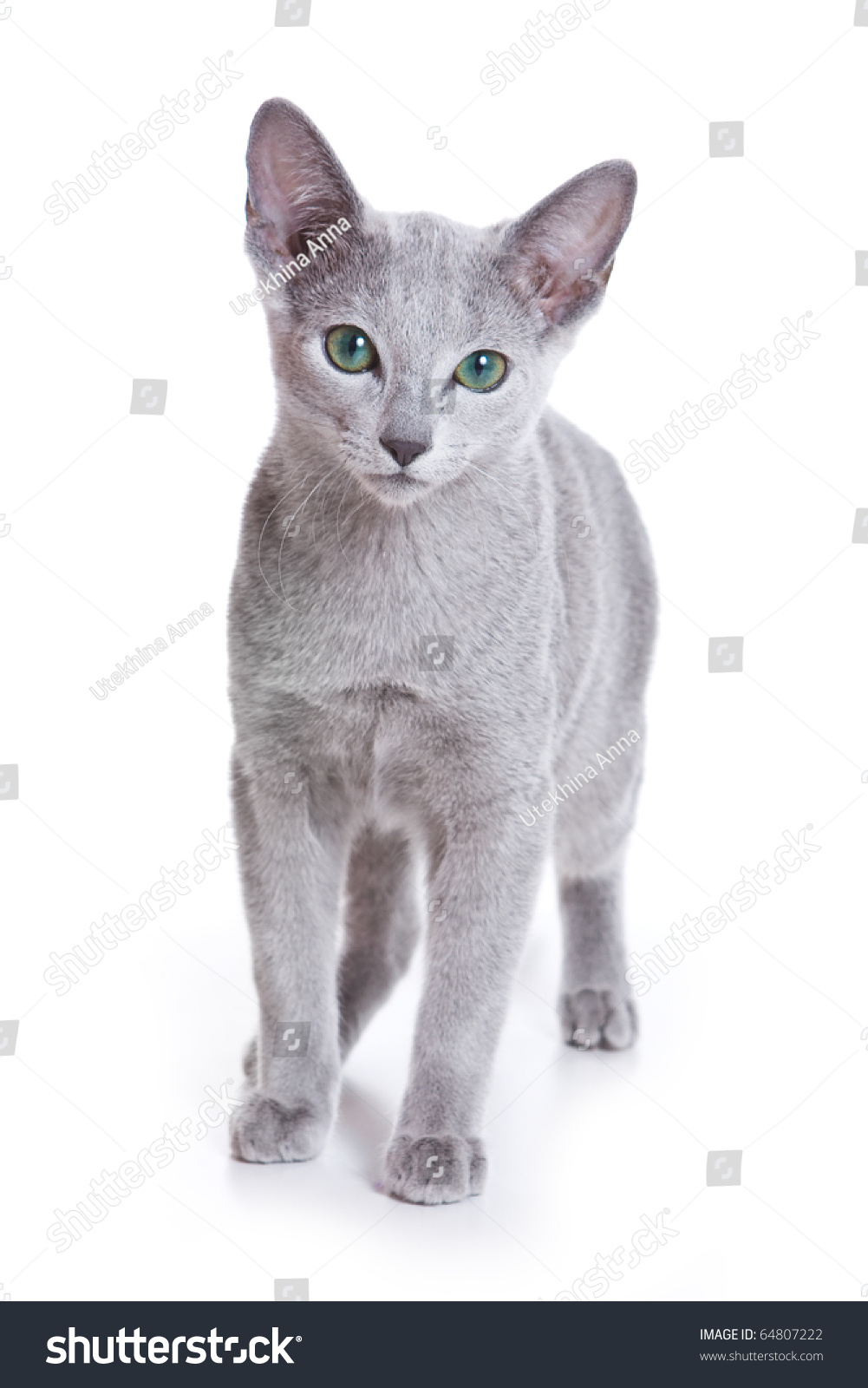 Russian Blue Cat White Stock Shutterstock