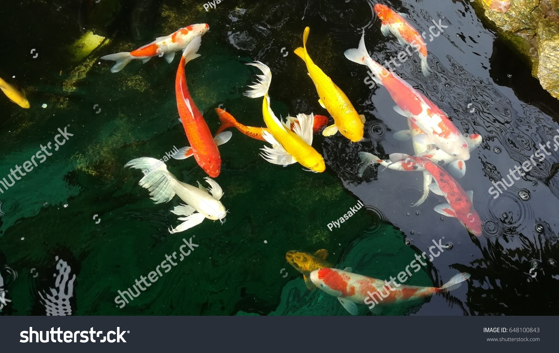 Fancy Fish Swim Pond General Name Stock Photo (Royalty Free ...