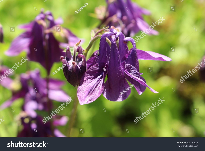 Dark columbine flower or grannys bonnet stock photo 100 legal dark columbine flower or grannys bonnet dunkle akelei lions herb izmirmasajfo