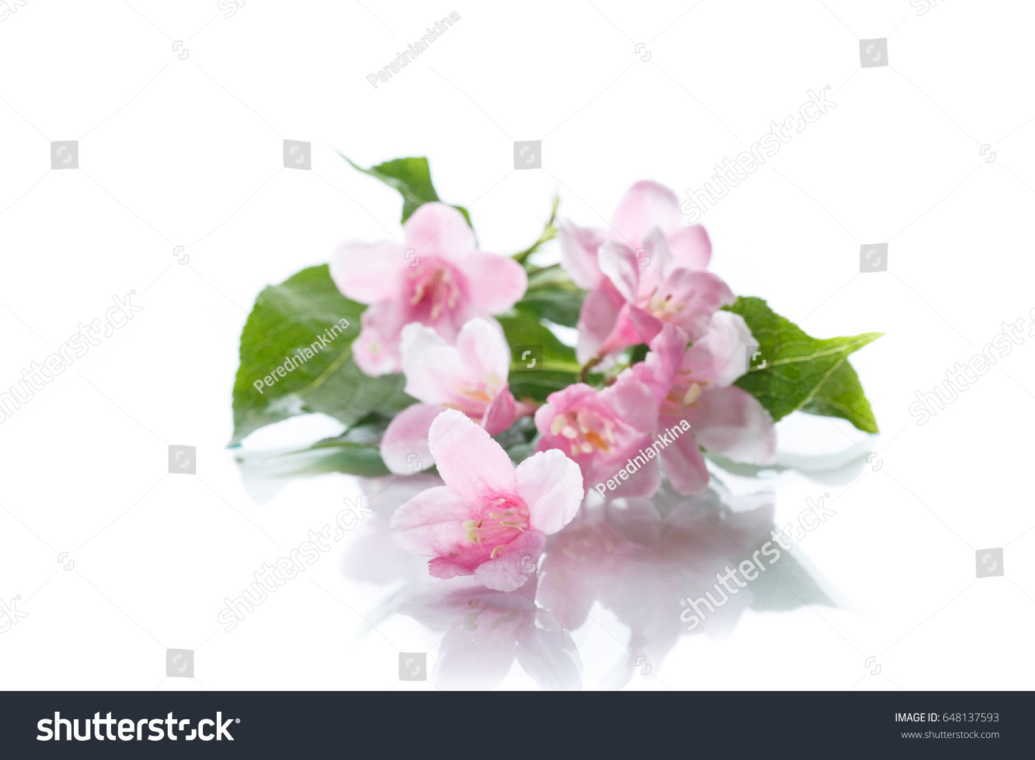 Beautiful Pink Flowers Weigela On A White Background Ez Canvas