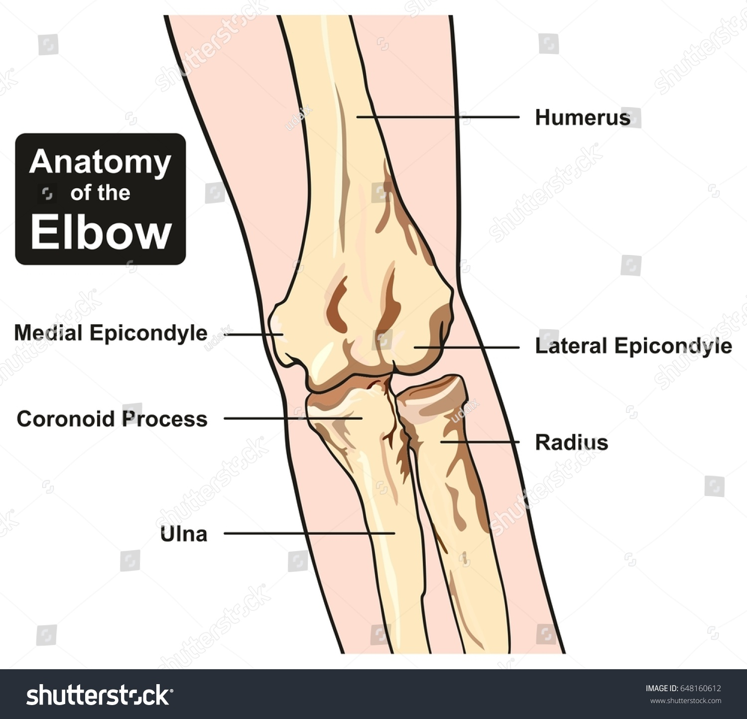 Anatomy Elbow Joint Diagram Including All Stock Illustration