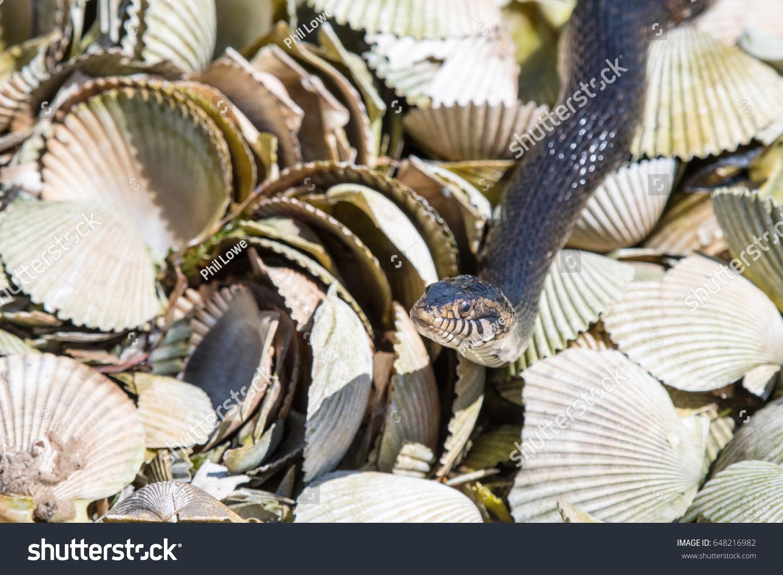 stock-photo-banded-water-snake-nerodia-f
