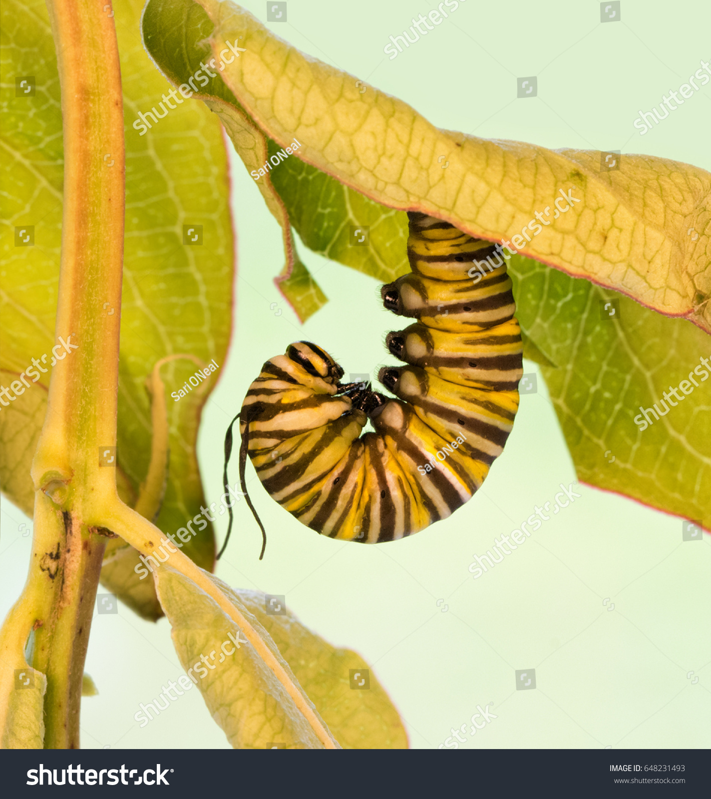 stock-photo-monarch-caterpillar-hanging-