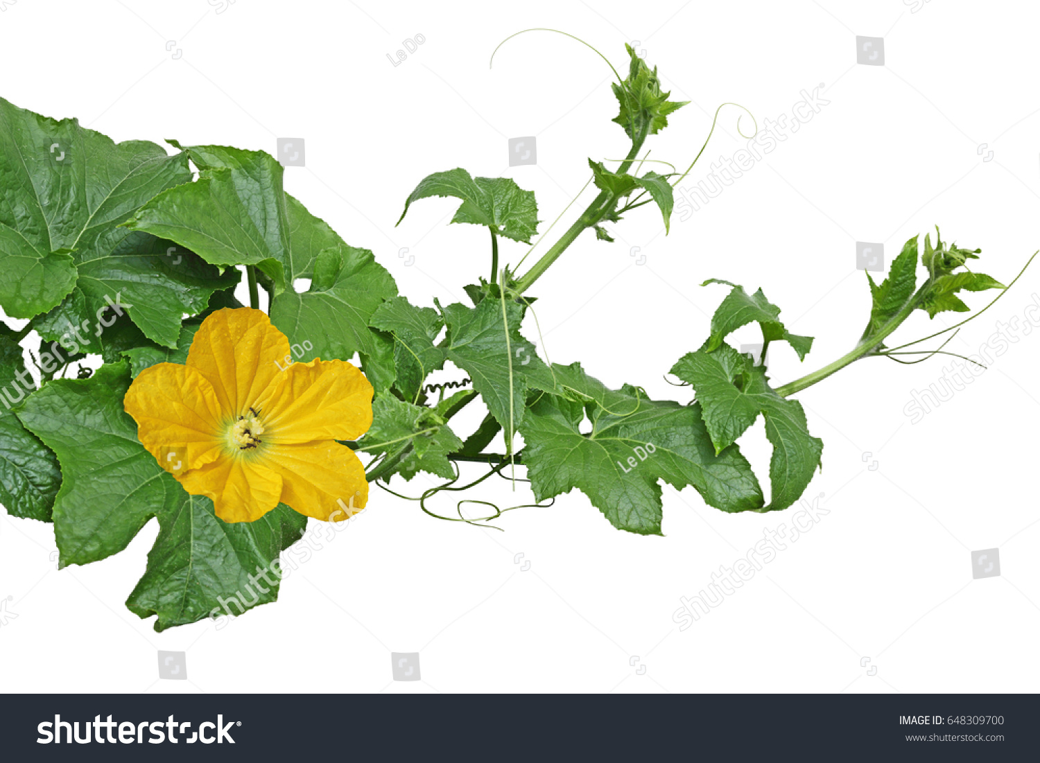 Winter melon squash vines leaves flowers stock photo royalty free winter melon squash vines with leaves and flowers isolated on white background mightylinksfo