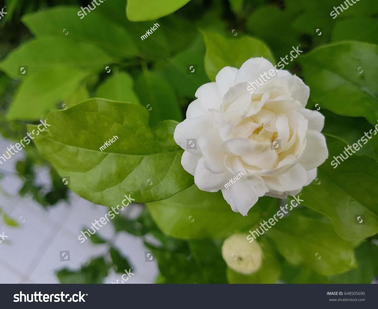 Beautiful kind jasmine jasminu sambac stock photo royalty free a beautiful kind of jasmine jasminu sambac izmirmasajfo
