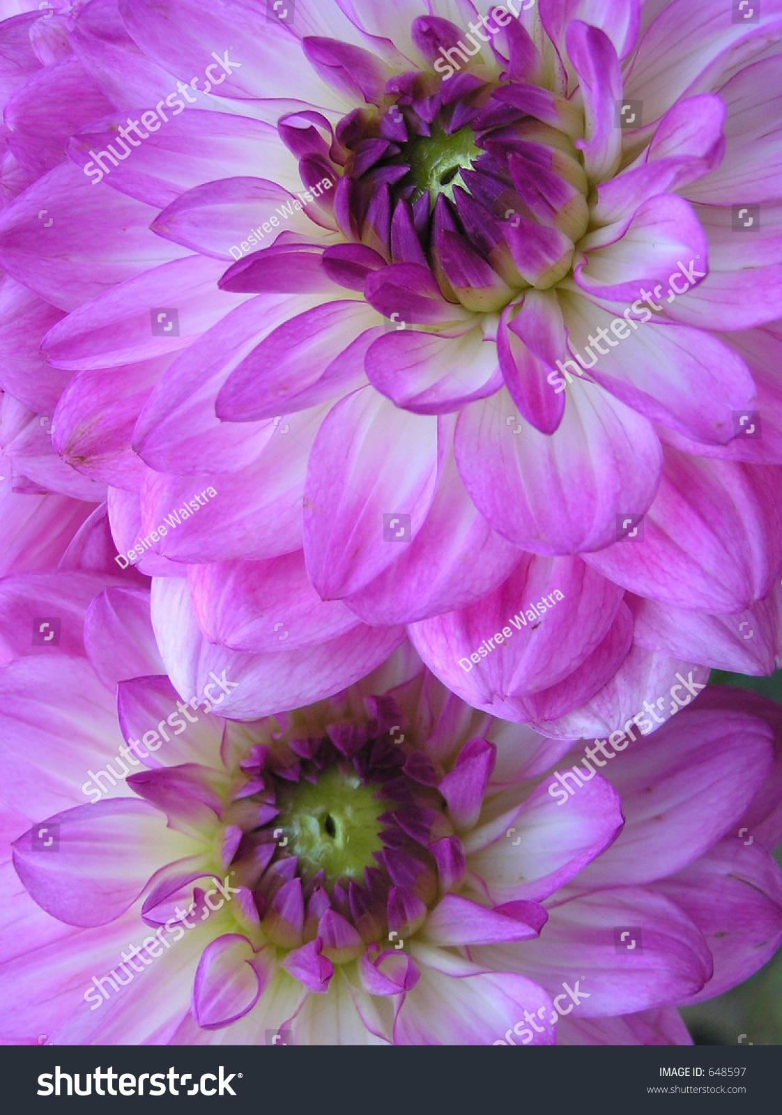 Photograph ot the hearts of two beautiful purple dahlia flowers ez id 648597 izmirmasajfo