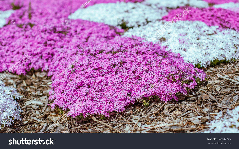 Beautiful Purple Flowers Moss Phlox Mountain Stock Photo Edit Now