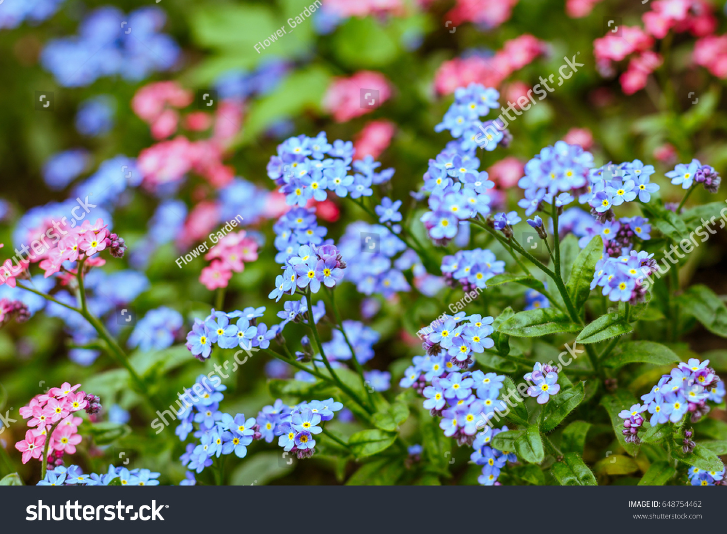 Myosotis sylvatica forget me not flowers in a garden shallow dof myosotis sylvatica forget me not flowers in a garden shallow dof ez canvas mightylinksfo