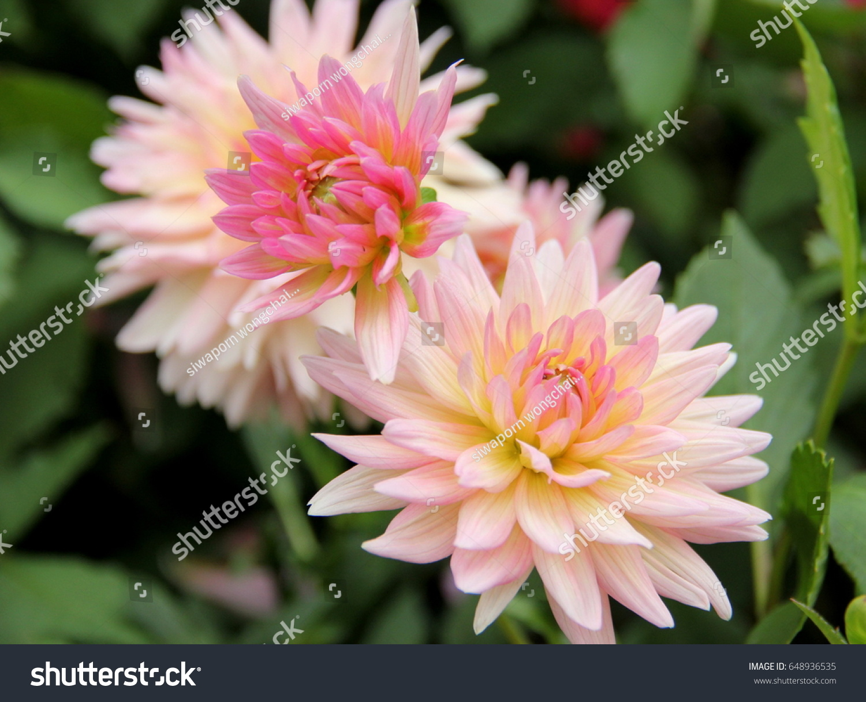 Beautiful Flowers Pretty Flowers Flowers Flowers Stock Photo Edit
