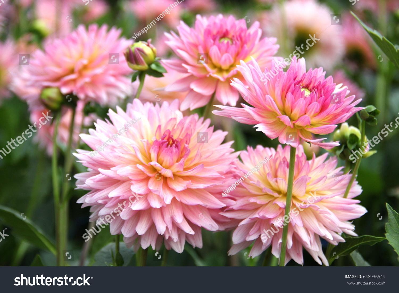 Beautiful Flowers Pink Dhalia Blooming Stock Photo Edit Now