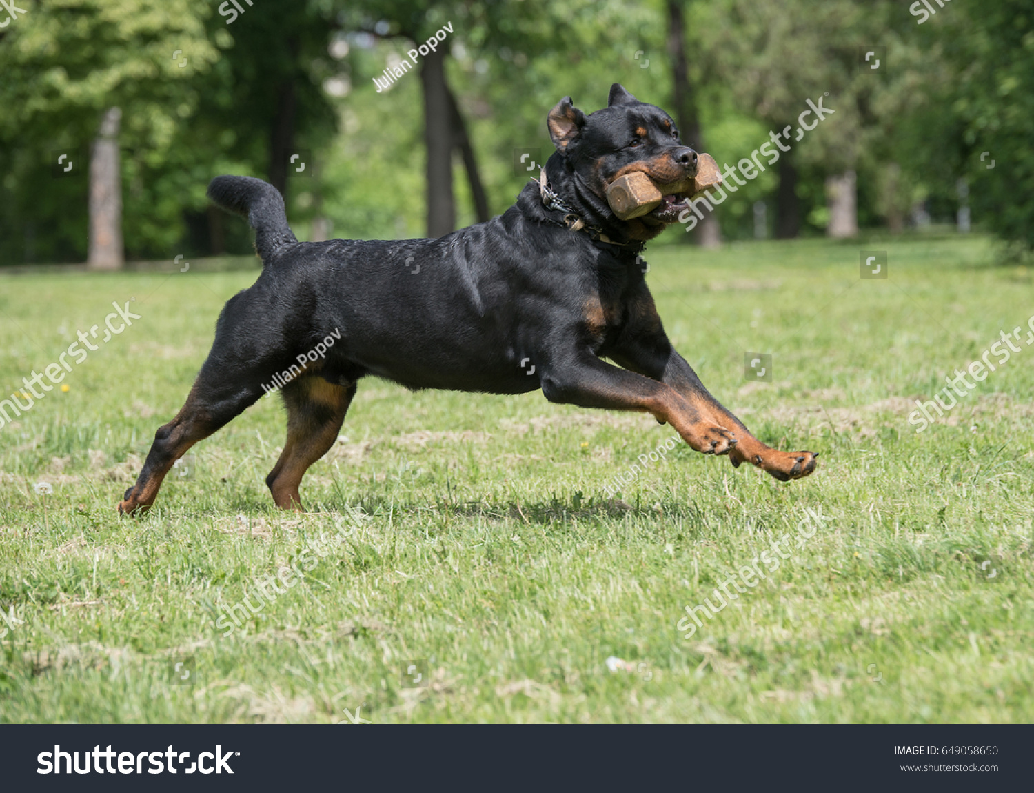 Rottweiler Running On Grass Selective Focus On Stock Photo Edit Now