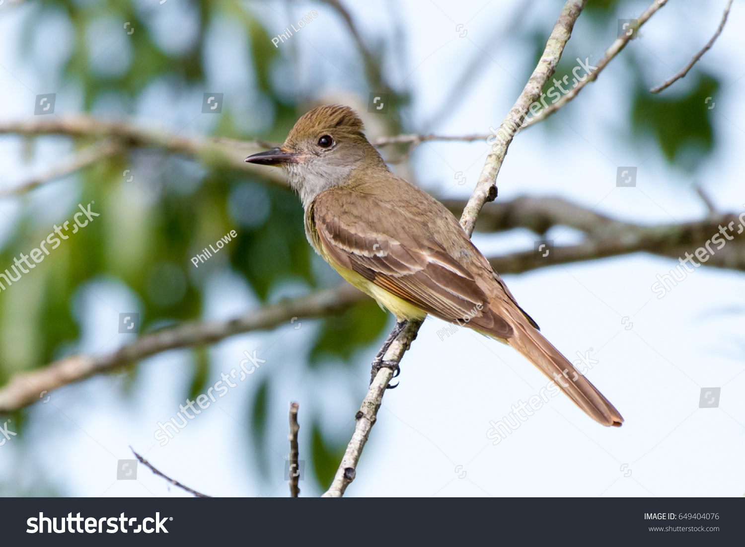 stock-photo-great-crested-flycatcher-myi