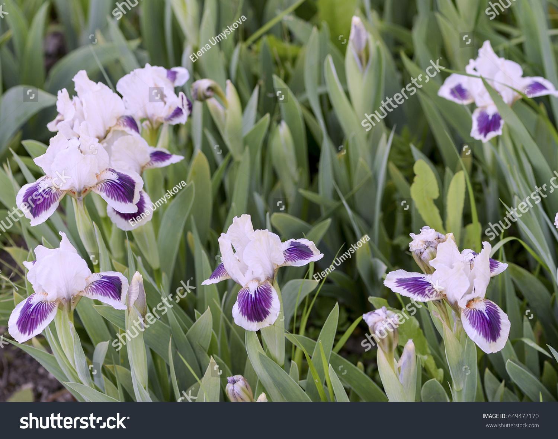 Violet Iris Flowers In Garden Ez Canvas