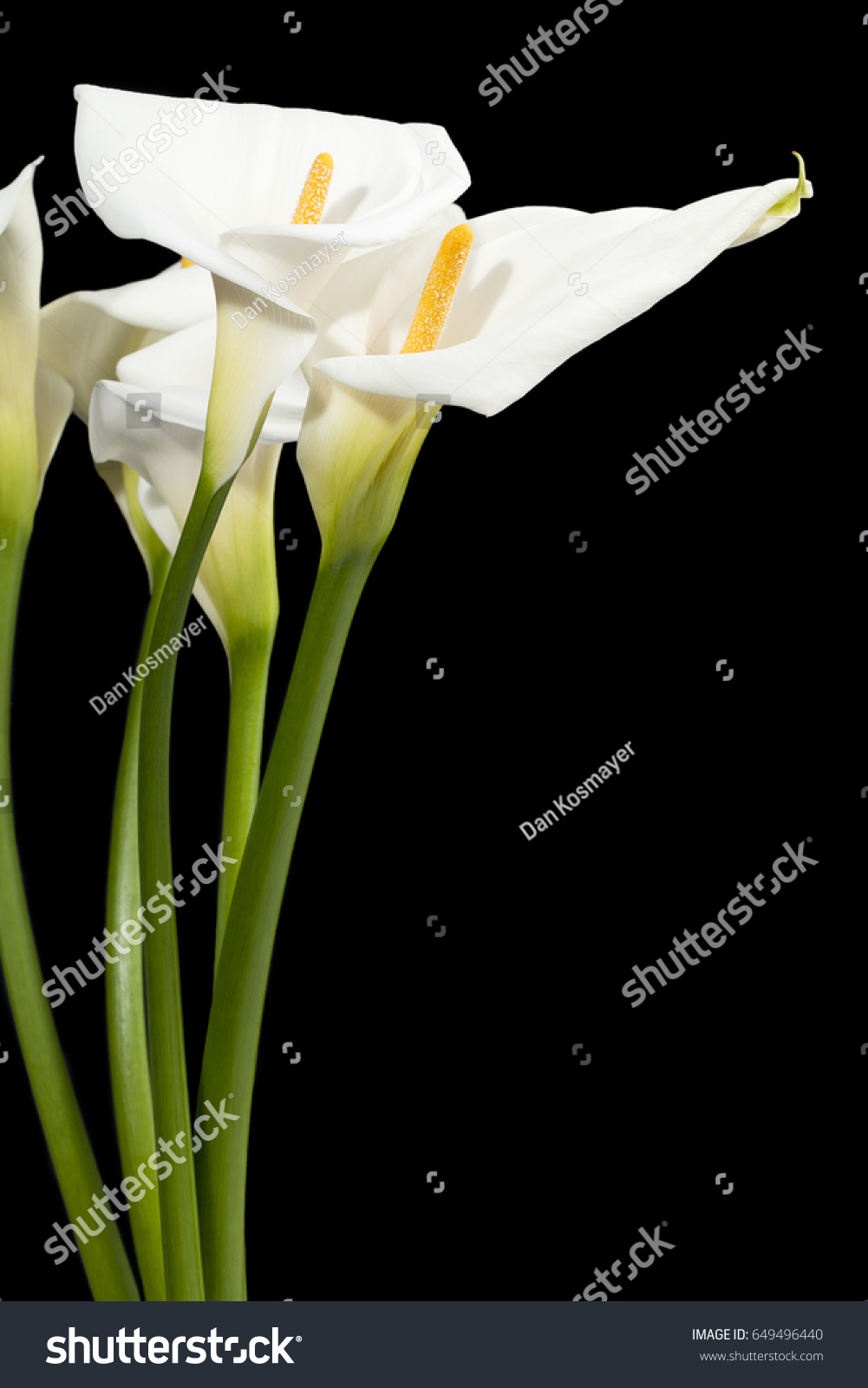 Calla Lilies Flower Isolated On Black Stock Photo Edit Now