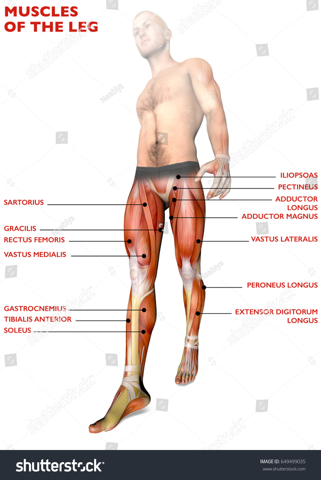 Walking Man Leg Muscles Xray View Stock Illustration Royalty Free