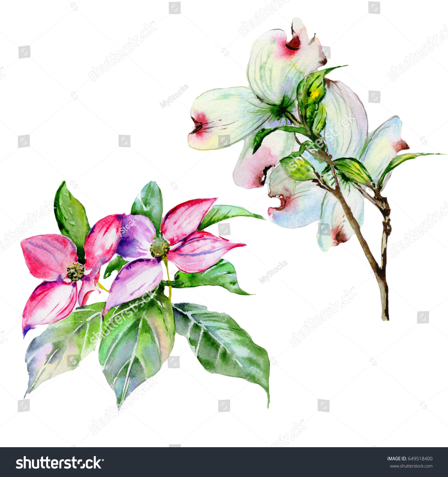 Wildflower Dogwood Flower Watercolor Style Isolated Stock