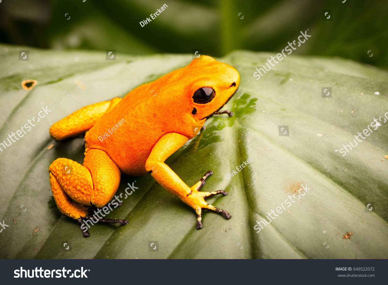 poison dart frog phyllobates terribilis orange stock photo