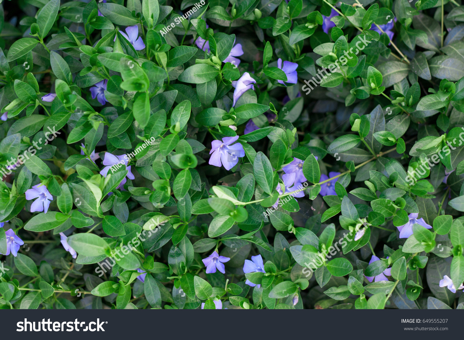 Periwinkle plant green leaves blue flowers stock photo royalty free periwinkle plant with green leaves and blue flowers izmirmasajfo