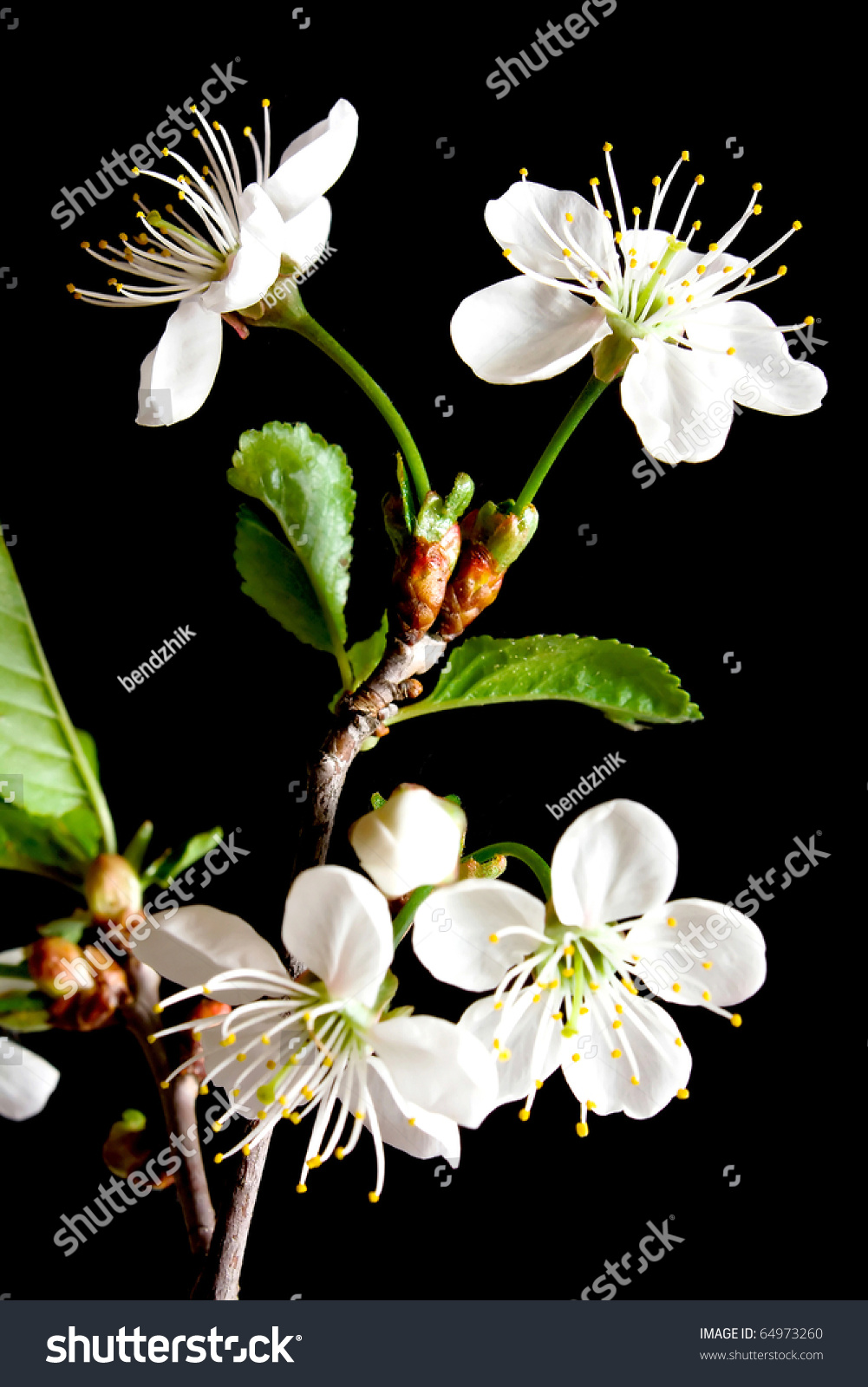 Beautiful flowers blooming cherry on black stock photo 64973260 beautiful flowers blooming cherry on a black background izmirmasajfo Images