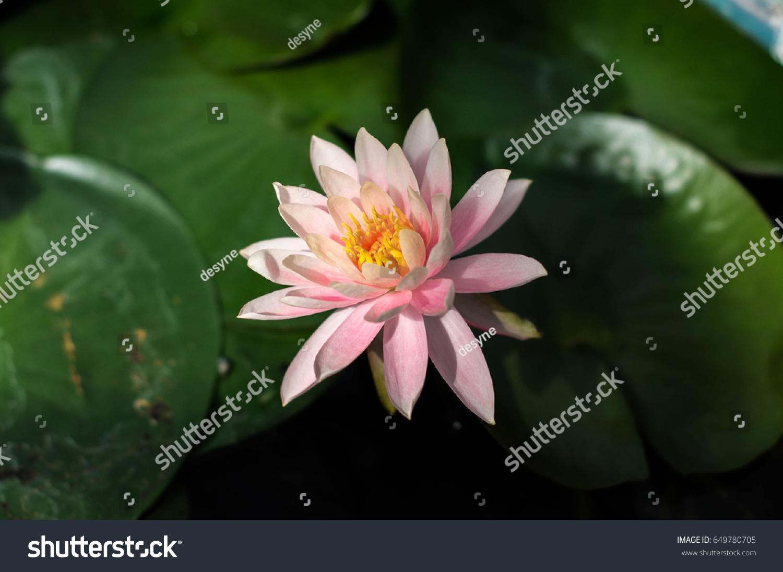 Lotus flower in pond ez canvas izmirmasajfo