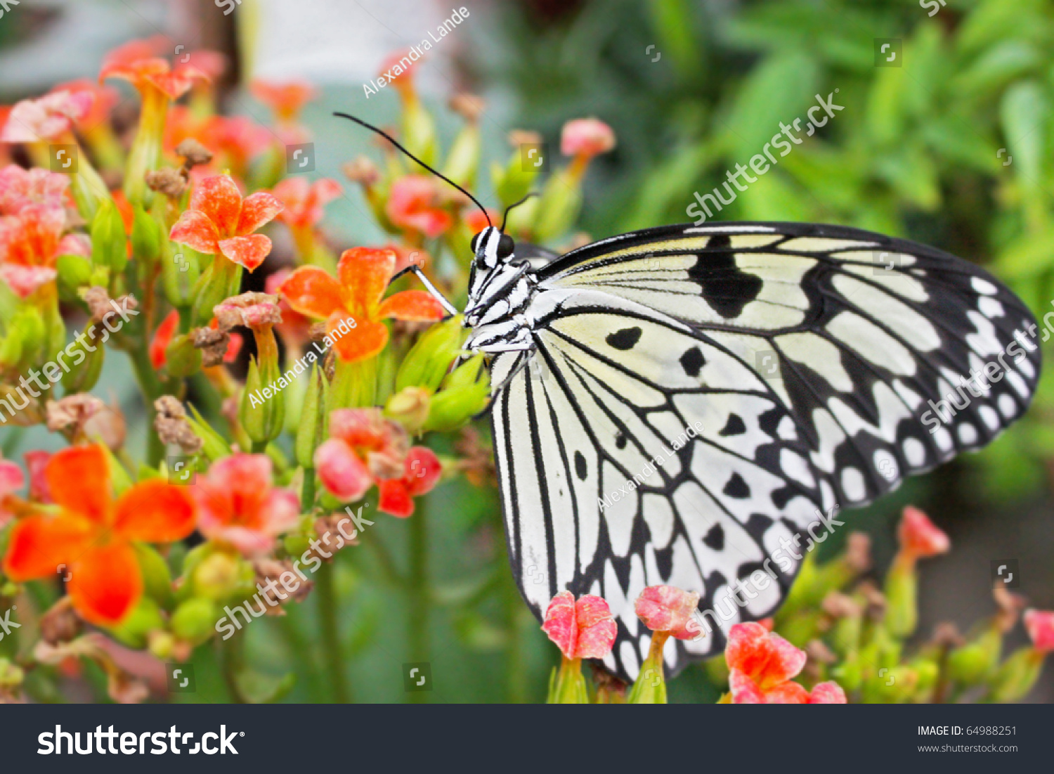 big exotic green butterflies on flowers stock photo 64988251