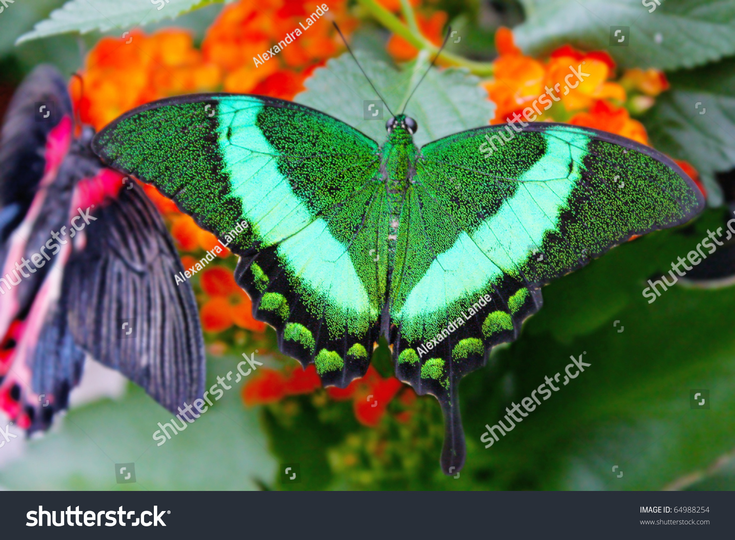 big exotic green butterflies on flowers stock photo 64988254