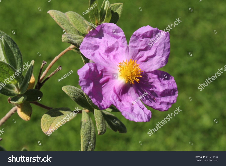 Paperlike Whiteleaved Rockrose Flowers Or Greyleaved Stock Photo