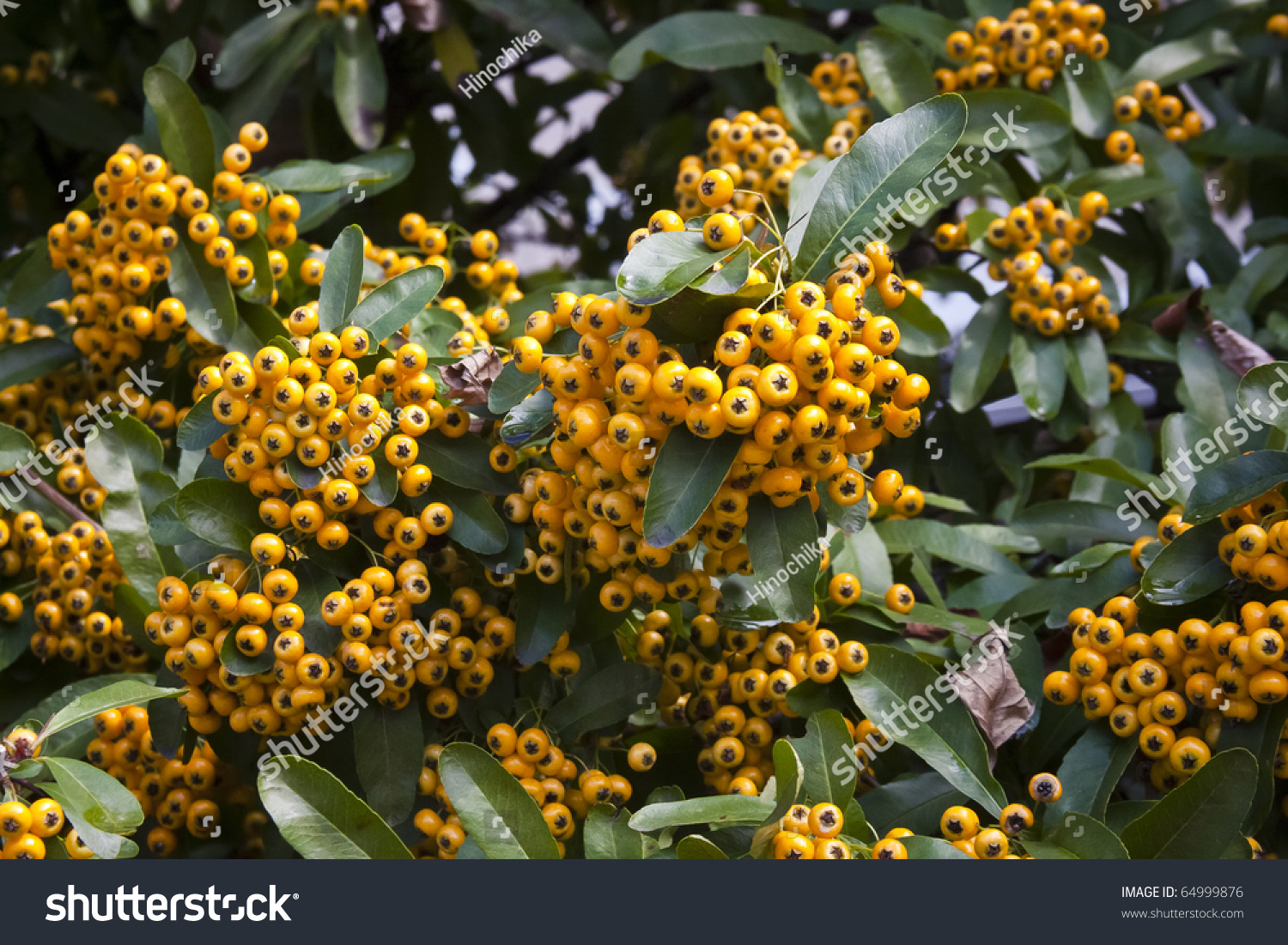Holiday Yellow Pyracantha Berries Chinese Firethorn Stock