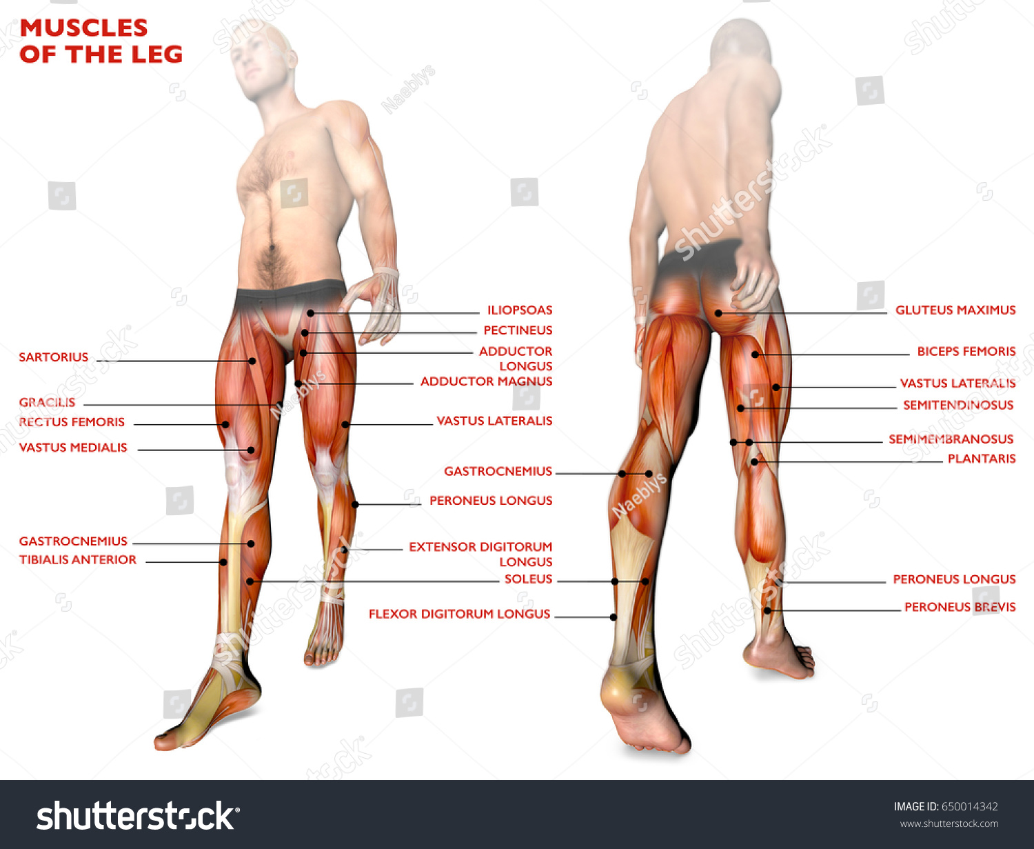 Leg Muscles Human Body Anatomy Muscle Stock Illustration 650014342