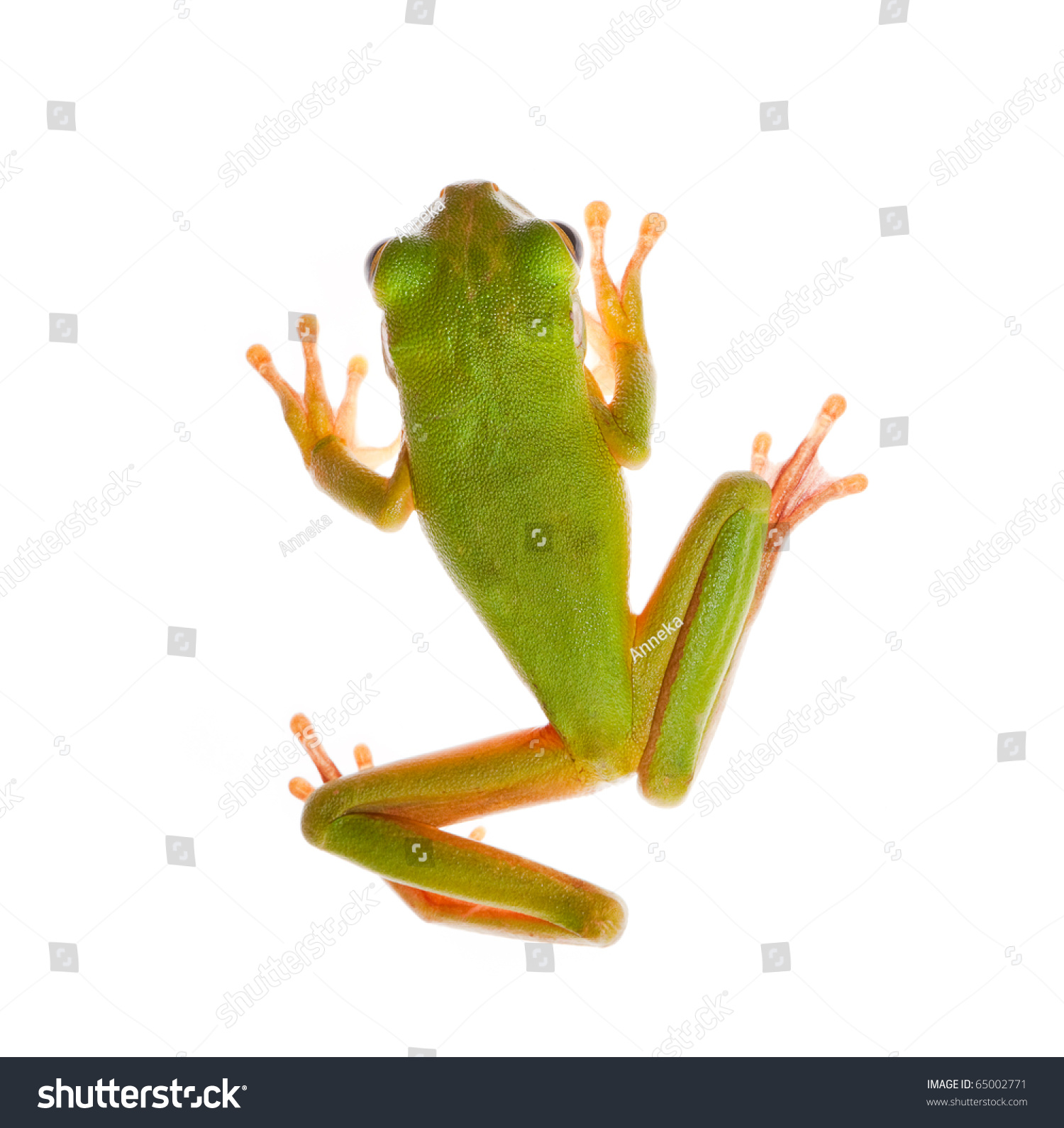top view on whitelipped tree frog stock photo 65002771 shutterstock