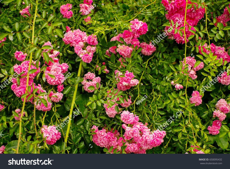Zephirine Drouhin Climbing Rose climbing pink roses rosa zephirine drouhin stock photo (edit