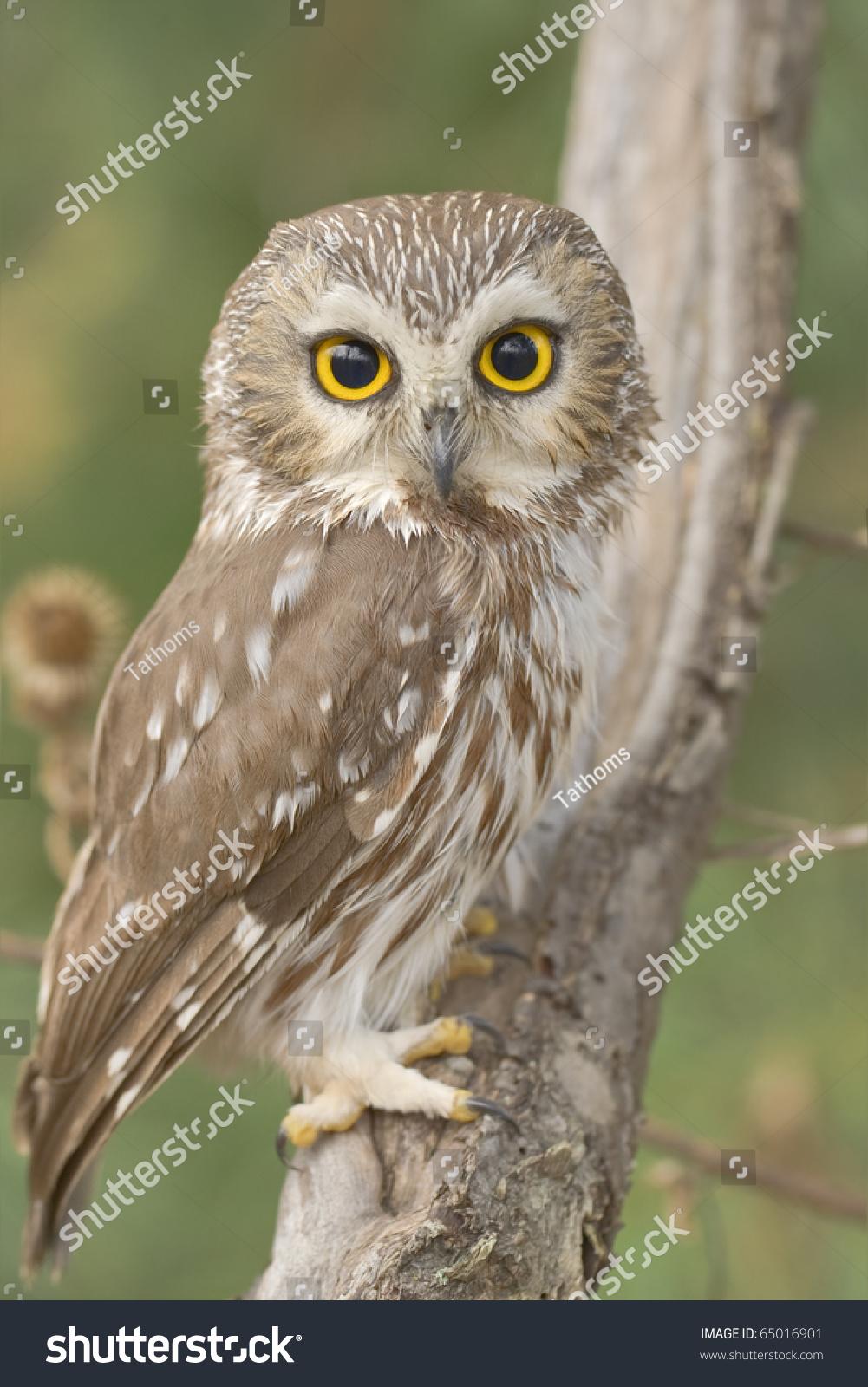 stock-photo--northern-saw-whet-owl-one-o