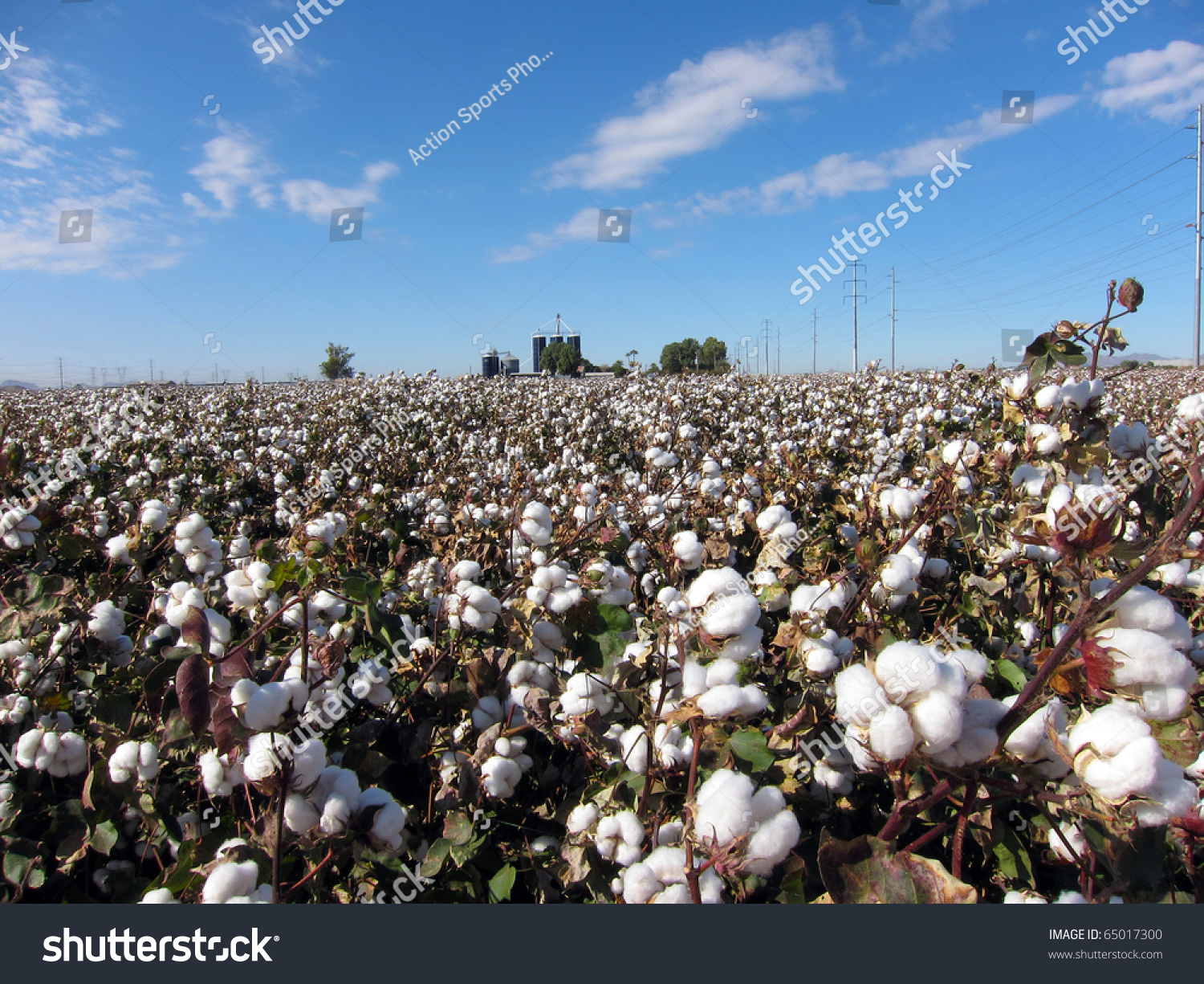 Cotton Plants Field Against Blue Sky Stock Photo 65017300