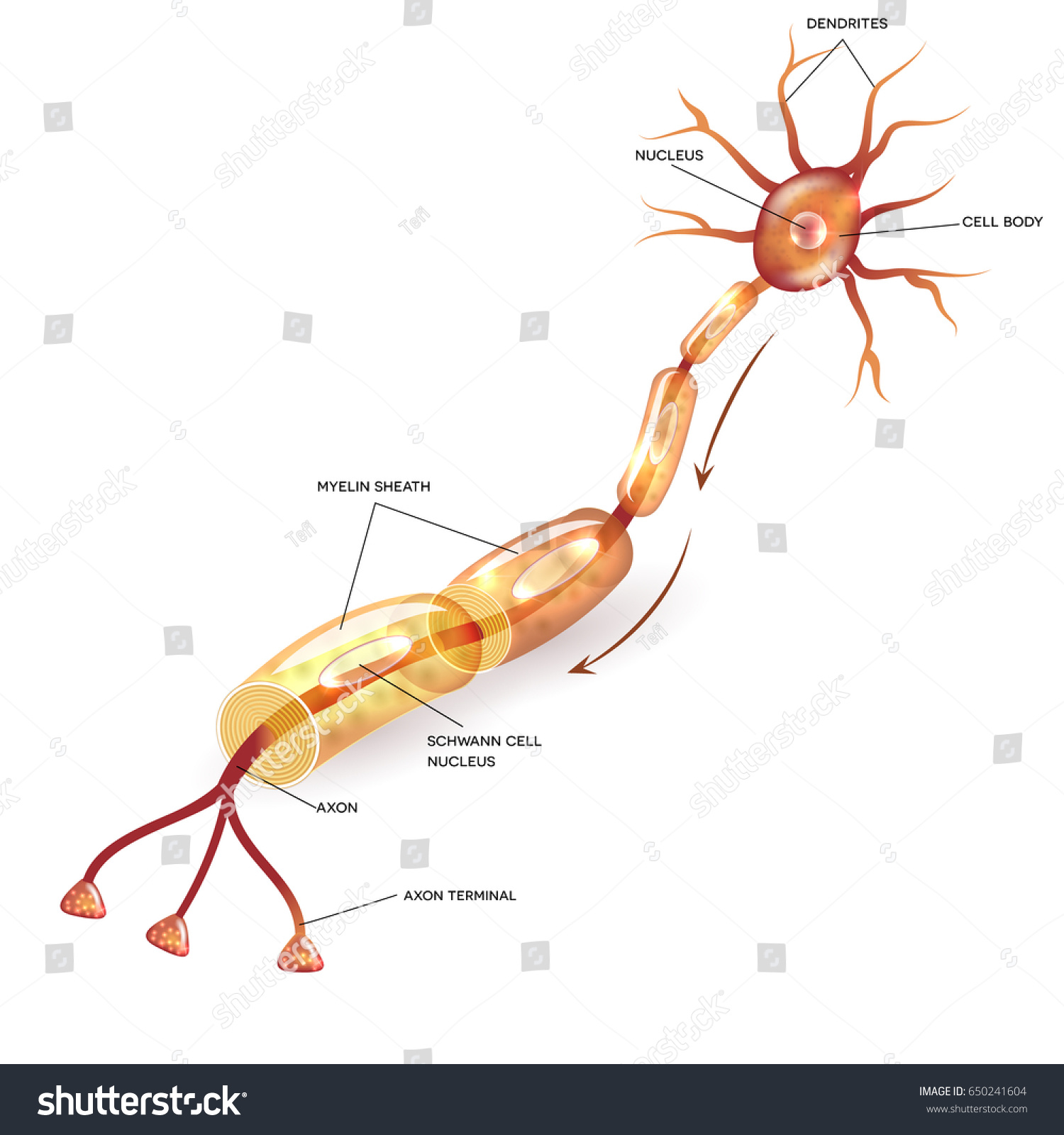 Neuron Nerve Cell That Is The Main Part Of Nervous System Detailed Diagram Cross Section Anatomy Nucleus And Other Organelles Ez Canvas