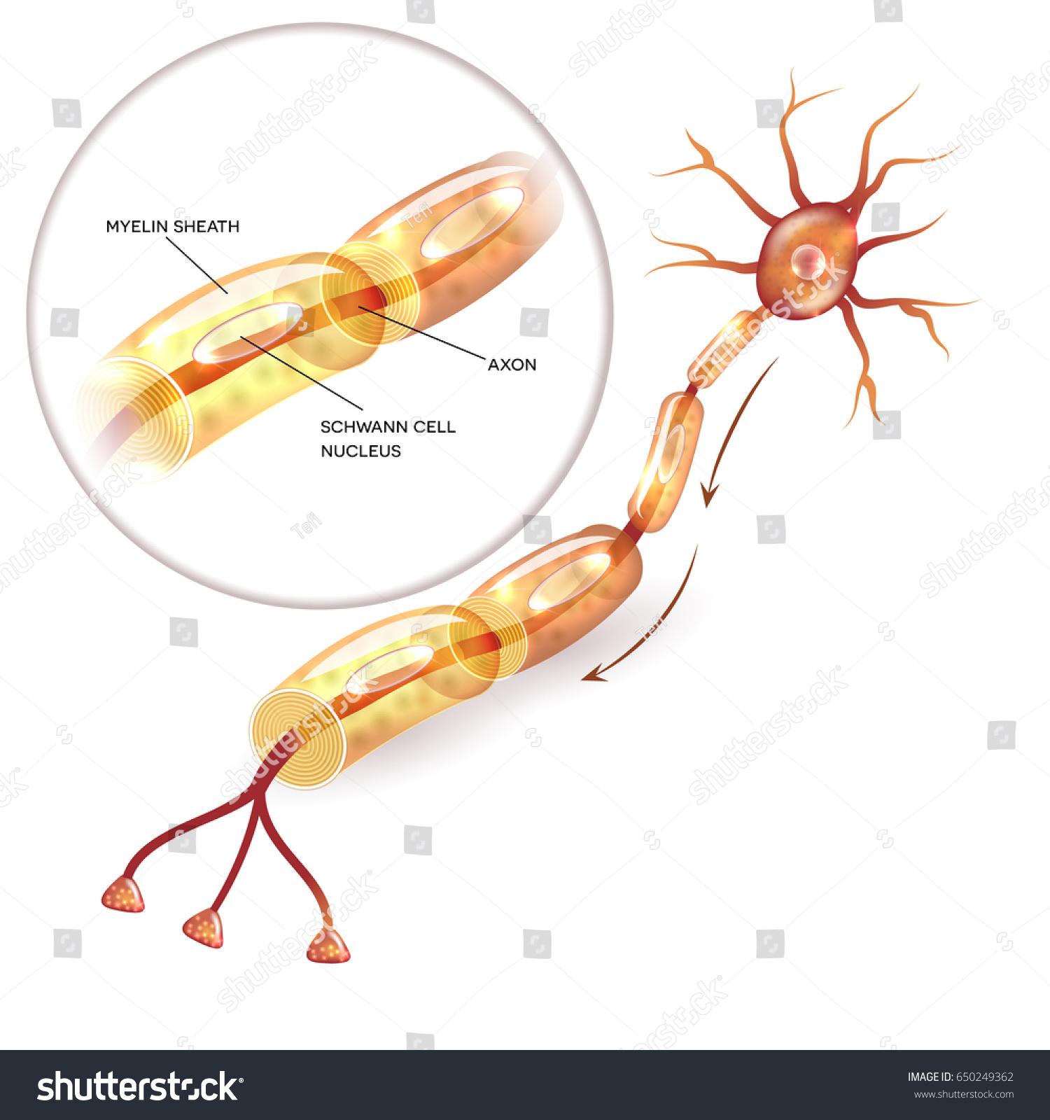 Neuron Nerve Cell Axon Myelin Sheath Stock Illustration 650249362 ...