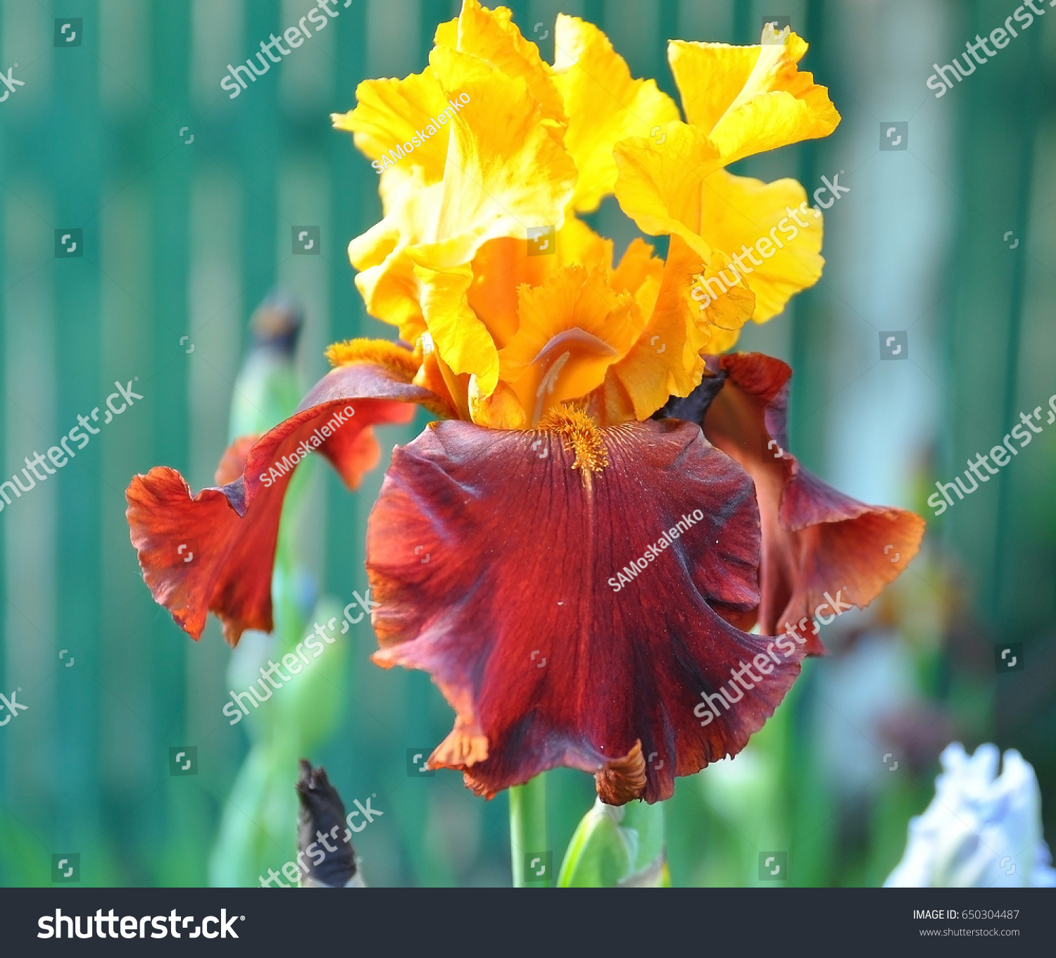 Yellow red iris flower macro on stock photo 650304487 shutterstock yellow and red iris flower macro on natural green background yellow flower de luce close izmirmasajfo Images